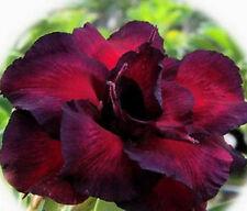 Adenium Obesum / Desert Rose - CX Roaypepoep - Perennial Bonsai Seeds (5)