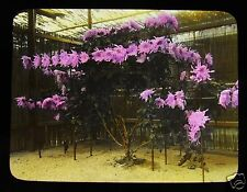 MAGIC LANTERN SLIDE CHRYSANTHEMUMS IN JAPAN NO.4 C1920 JAPANESE TAKAGI