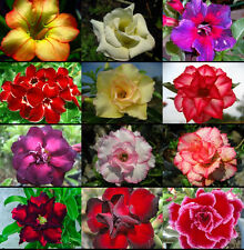 "ADENIUM ""Mixed 12 Type"" 100 Seeds RARE!!"