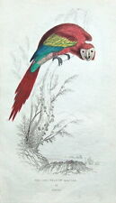 RED & YELLOW MACAW, South America original antique parrot bird print 1833