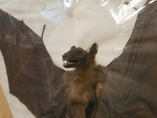 CYNOPTERUS SPHINX GREATER SHORT NOSED SPREAD BAT INDONESIA REAL TAXIDERMY