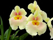 Miltoniopsis Andrea West yellow orchid pink blush, blooming size