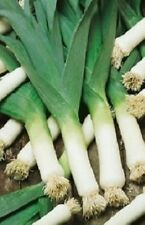 1,000 Leek Seeds Large American Flag LEEKS SEEDS
