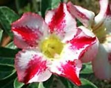 5 seeds Adenium,Fragrant Delight, Arabicum, Desert Rose