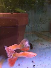 Pair Albino Yellow Galaxy Snakeskin Guppies! FREE SHIPPING!