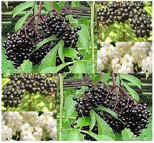 (50) American Elderberry Fruit Seeds - Sambucus canadensis - Combined S&H