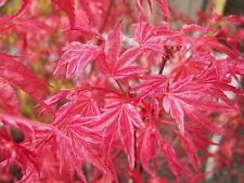 Acer palmatum 'Shindeshôjô' in 7cm pot ideal bonsai subject