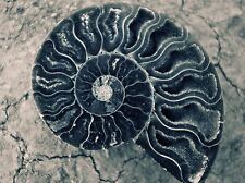 ART PRINT POSTER PHOTO NATURE FOSSIL SHELL MARINE LIFE AMMONITE LFMP1245