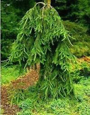 Rat Tail Norway Spruce Tree Seeds