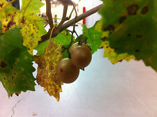 Scuppernong Muscadine Grape Vine Bare Root Plant Grapes Vineyards North Carolina