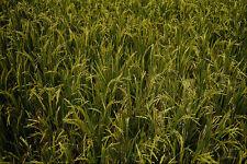593060 matura il riso raccolto A4 FOTO STAMPA texture