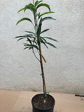 Mango,  live Grafted Mallika Mango 3gal, Mangifera Indica