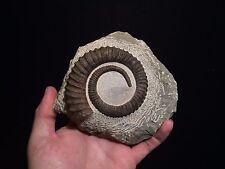 Morocco Fossil / Ammonite Anetoceras arduennense fossile!! TOP RARITY!!