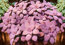 Graptopetalum pentandrum exotic succulent rare mesembs flowering plant 100 SEEDS