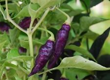10 CONDOR'S BEAK Hot Pepper,seeds,(C.chinense) An elongated, exotic and uncommon