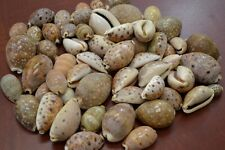 80+ PCS ASSORT CYPRAEA LYNX COWRIE SEA SHELL CRAFT 1 POUND #7028