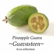 ~PINEAPPLE GUAVA~ GUAVASTEEN Feijoa RARE FRUIT TREE Acca sellowiana LIVE Plant