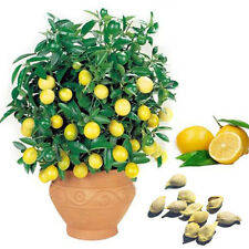 10pcs Lemon Seeds Heirloom Garden Tree Outdoor Fruit Rare Organic Plant Seed