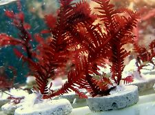 Red Fern* Macroalgae live coral saltwater reef fish rare* limited time only
