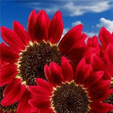 15x Helianthus Red Sunflower Seeds Red Sun Fortune Bloom Heirloom Seeds EF