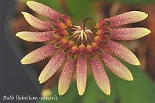 Rare orchid species blooming plant - Bulbophyllum flabellum-veneris * Unique