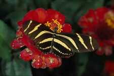 720091 Zebra Butterfly Heliconius Charitonius A4 Photo Print
