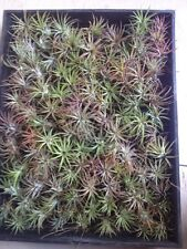 Bromeliads : Tillandsia Ionanthas 100 + Airplants