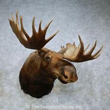 #14680 E+ | Moose Taxidermy Shoulder Mount For Sale