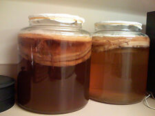 Very Large and Mature and Potent Organic Kombucha starter Scooby Tea Probiotic