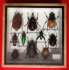 REAL EXOTIC HUGH 10 INSECT DISPLAY TAXIDERMY ENTOMOLOGY CICADA BEETLE INSECTS