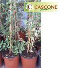 pianta di lycium barbarum Goji della giovinezza bacche di goji gogi tibetana