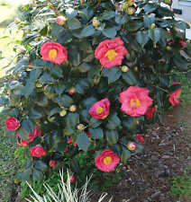 Camellia Japonica Dr King Luxurious Evergreen Shrub Garden Plants