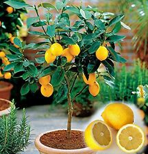 5  MEYER LEMON  SEEDS *** PLUS ONE BING CHERRY SEEDLING 4-6 INCH **  TREE CITRUS