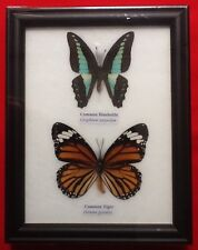 2 REAL BUTTERFIES COMMON JAY LIME BUTTERFLY TAXIDERMY INSECT PICTURE FRAME