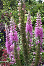 VERONICA LONGIFOLIA   104 SEEDS   LONG LEAF SPEEDWELL   PINK AND BLUE FLOWERS