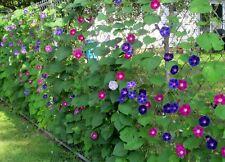 50 Graines de Volubilis Ipomée Fleurs Haie Végétale ! (Ipomoea) Semillas Seeds