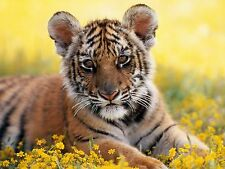 Large Cute Tiger Cub Photo Picture Print 19x13 inch Poster Ready to Frame NEW