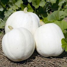 Pumpkin Seeds - CASPER - Milky White Skin - Rare and Unusal - 10 Seeds