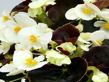 50 Pelleted Seeds Begonia Chocolates White BUY FLOWER SEEDS