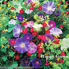 Escalade fleurs mix - 3gr graines-mina sweet pea Cobaea bean morning glory
