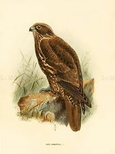 DRAWING BIRD ROWLEY KEULEMANS YOUNG GYRFALCON ART PRINT POSTER LAH359A