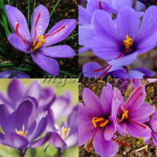8Pcs Rare Saffron Bulbs Autumnale Meadow Crocus Sativus Ball Flower Seeds Plant