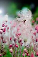 Rare flower seeds Prairie Smoke seeds, 50 seeds