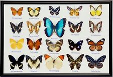 20 Rare Real Butterflies in Framed Display / MORPHO PELEIDES : Taxidermy