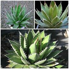 10 semi di Agave ghiesbreghtii 'Purpusorum', succulente,seeds succulents
