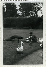 PHOTO ANCIENNE - VINTAGE SNAPSHOT - ANIMAL OISEAU PAON TARBES JARDIN MASSEY 1954