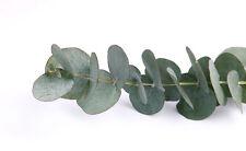 der echte Eukalyptus: eine Pflanze mit wunderschönen Blättern und tollem Duft !