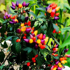 "50Pcs Ornamental Hot Pepper Seeds ""Prairie Fire"" Edible Home Garden Plant Flower"