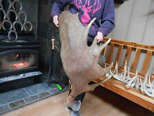 1 HUGE MOOSE ANTLER mule elk mount rack moose whitetail elk deer sheds
