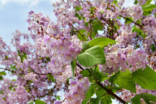 der Blauglockenbaum begeistert durch seine wunderschöne, zahlreiche Blütenpracht